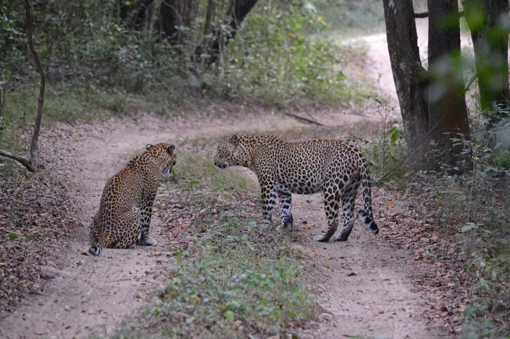 Luipaard Sri Lanka Safari met kinderen