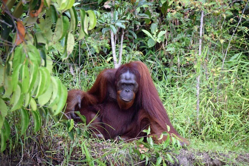 Bukit Lawang Uran Oetang Indonesië