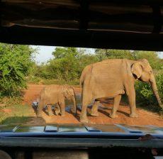 Safari Sri Lanka met gezin olifanten